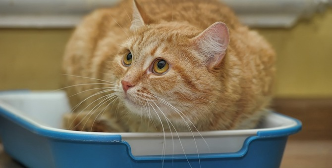 猫は膀胱炎で血尿になる?考えられる原因や予防の方法