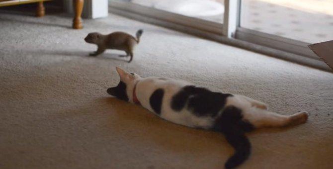 プレーリードッグさんと猫ちゃん、付かず離れずの絶妙な関係