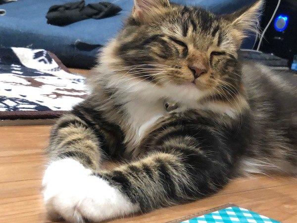 愛猫は入ってる?人気の大型猫ランキングTOP4