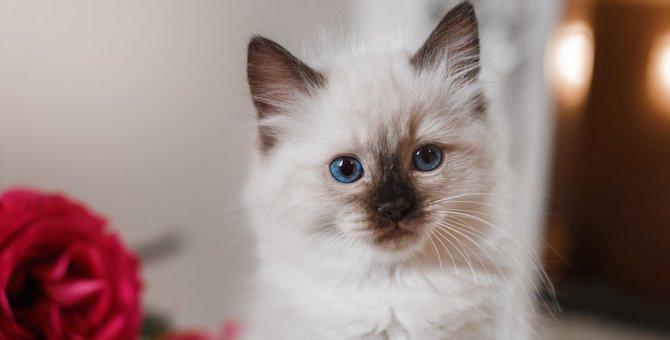 バーマンの子猫の性格や特徴、お迎えする時の値段や飼い方