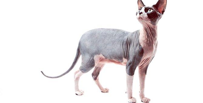 猫のスフィンクスの値段と飼い方