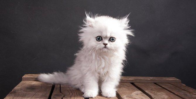 かわいいペルシャ猫の画像11連発!