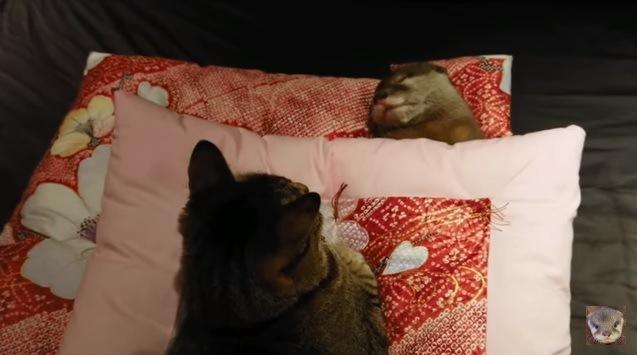 【この子の安眠は死守するにゃ!】眠るカワウソに寄り添う猫さん
