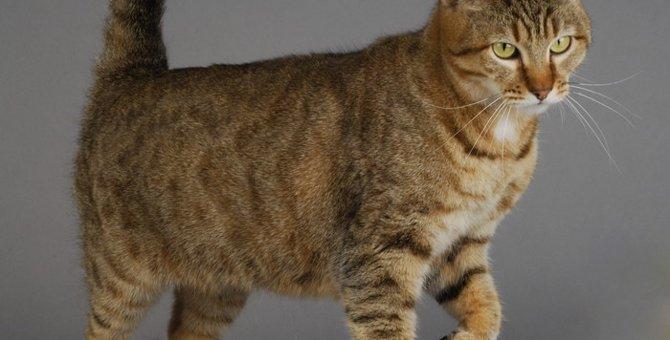ピクシーボブの特徴と性格、飼い方の注意点