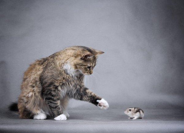 猫とハムスターを一緒に飼うときに注意する5つのこと