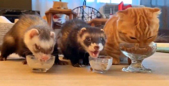マンチカン×2フェレット♡仲良く並んでお食事する姿がたまらんかわいい!
