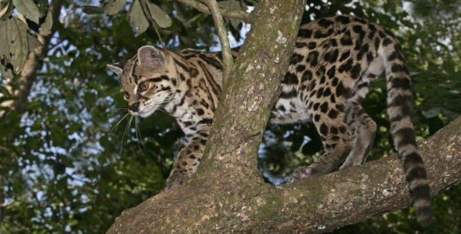 マーゲイとは  乱獲による絶滅の危険のある猫