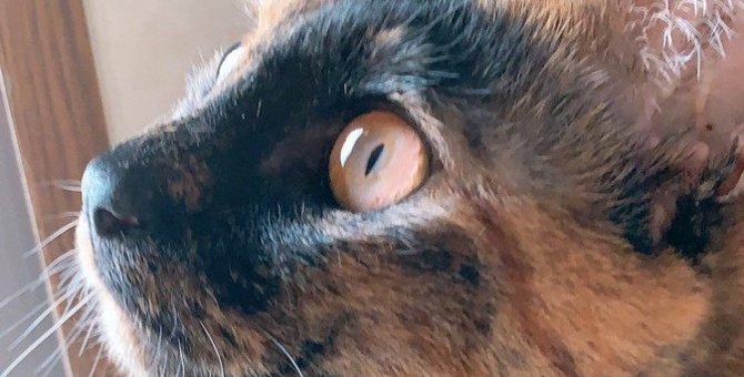 『べっこう猫』ってどんな猫?性格や特徴、お迎えする時の注意点5つ