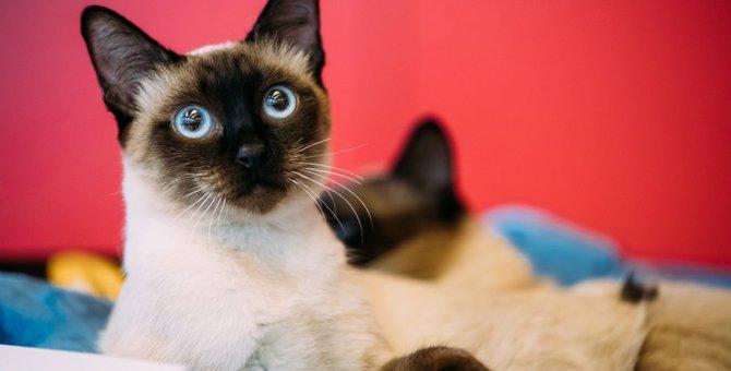 メコンボブテイルってどんな猫?ルーツや特徴、性格と飼い方について