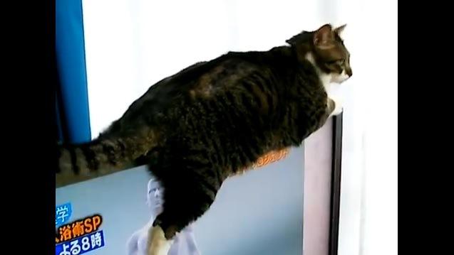 「ここが好きニャの!」薄型テレビの上がお気に入りの猫さん