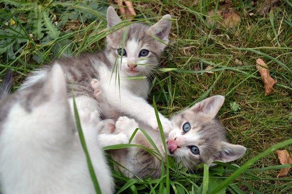 猫のクローン!?実在した2匹のお話
