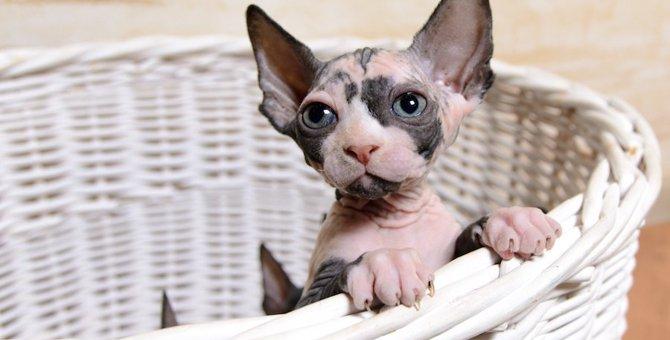 スフィンクスの子猫を飼うには?値段や飼う時の注意点