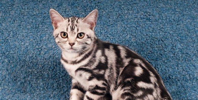 アメリカンショートヘアの画像まとめ!instagramで活躍する猫ちゃんたち
