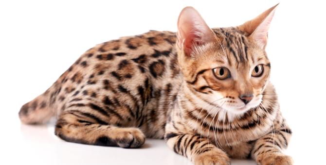 ベンガル猫の飼い方とは?たくさん遊べるように多頭飼いもオススメ!