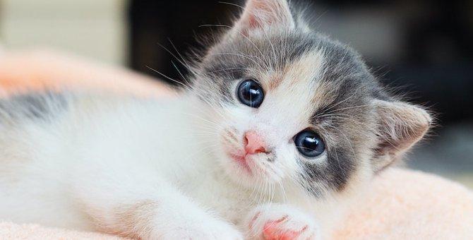 猫はどこからペットショップに来るの?3つの故郷について