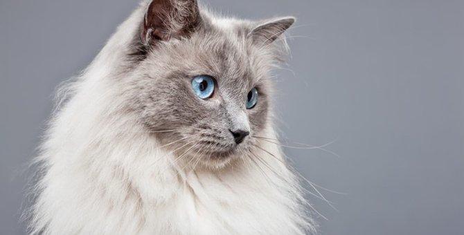 ラグドールの子猫をお迎えする方法と飼い方について