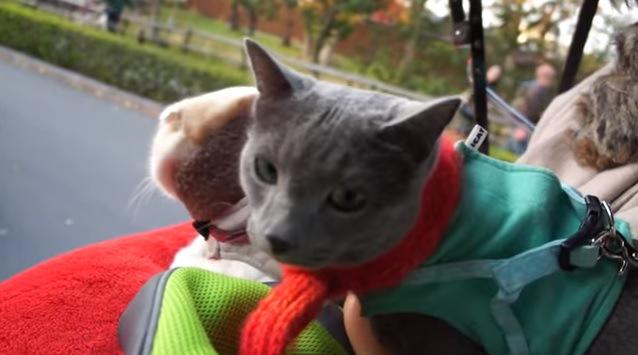 秋の京にはニャンコが似合う?人力車で観光だニャ♪