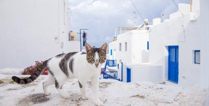 エーゲキャットとはどんな猫?特徴や性格