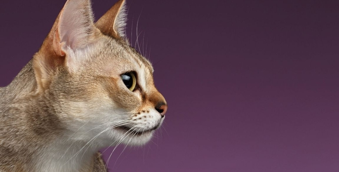 シンガプーラの性格や特徴、飼育時の注意点について