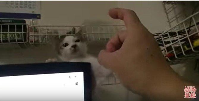 「それだけはやめるニャ!」デコピンの恐怖と戦う子猫