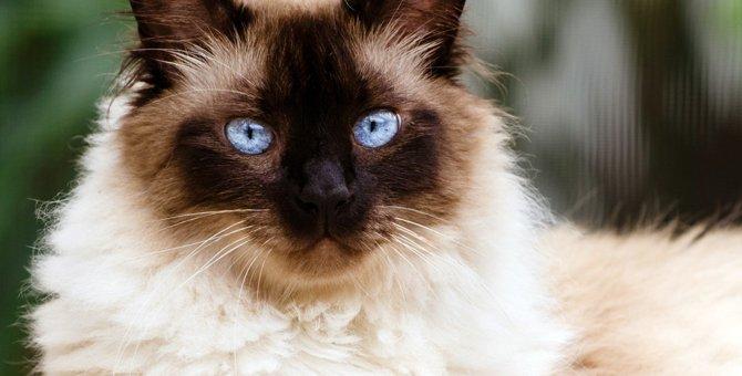 ヒマラヤンってどんな猫?特徴や性格お世話の仕方まで
