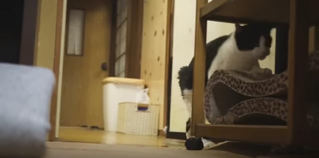【忍法ならぬニャン法!】隠れ身の術を使う猫(movie)