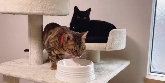 他の猫にご飯を食べられても穏やかな黒猫さんがカワイイ