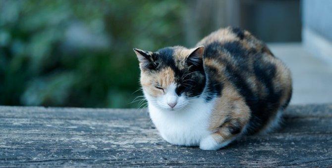 三毛猫が海外でも人気な理由と有名な猫たち
