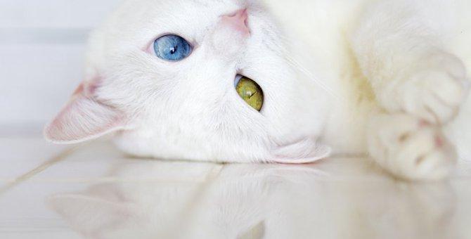 オッドアイの猫を里親でお迎えする方法や費用、譲渡までの流れ