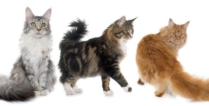 ジェントルジャイアントと呼ばれる猫「メインクーン」