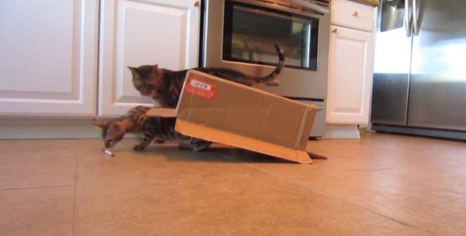 猫が甲羅を手に入れた?!新しい動物、タートルキャットの誕生!