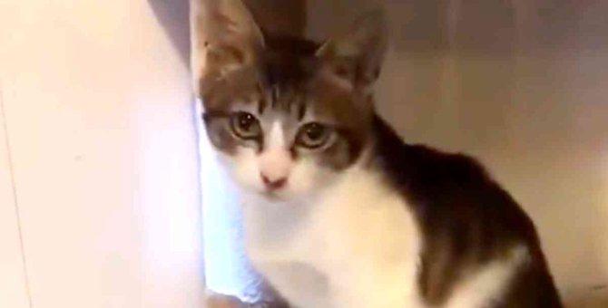 飢えでスポンジを食べた子猫…保護され凛々しい美猫に成長!