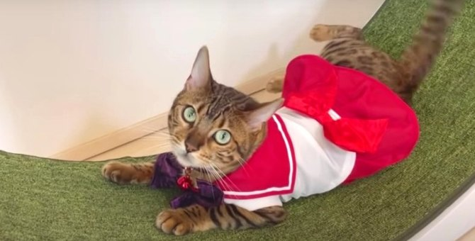 セーラーベルちゃん♡コスプレがとっても似合う可愛い猫さん!
