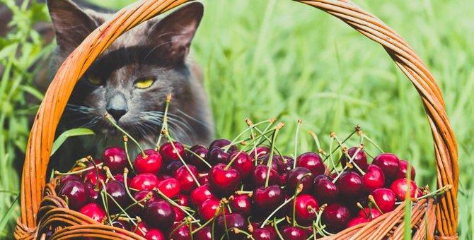 猫にさくらんぼを与えても良いの?その成分と注意点