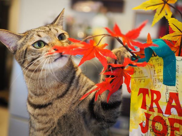 秋を感じる猫たちの写真が大集合!紅葉やコスプレを楽しむネコ達