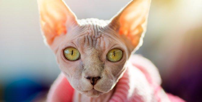 無毛の猫「スフィンクス」の特徴や飼う時の注意点