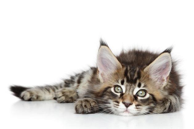世界一大きな猫は「メインクーン」ギネスで登録されている大きさ