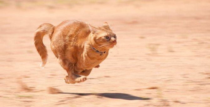 猫が本気で走ると時速50km!?実はすごい猫の体力