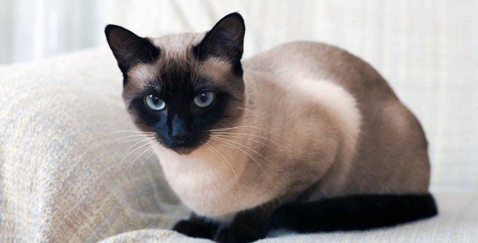 シャム猫の大きさはどのくらい?飼い方や似てるネコについて