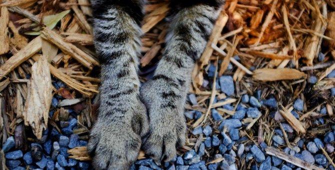 6本指の『ヘミングウェイキャット』は幸運を呼ぶ?代表的な2つの猫種を紹介
