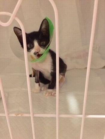 保護した子猫が足を骨折!手術後のリハビリはケージの中で。
