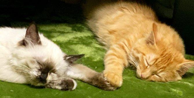 生後2か月の美猫姉妹に一目惚れ…にぎやかな生活がスタート!