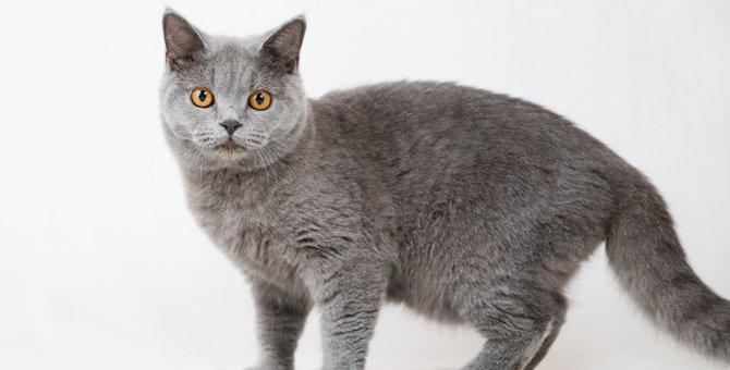 ブリティッシュショートヘアってどんな猫?マイペースな性格と抜群の運動神経が魅力!