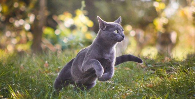 猫の足の速さは時速48キロ!猫種の違いや他のネコ科との比較