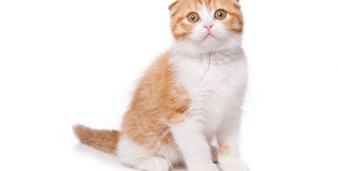 スコティッシュフォールドはどんな猫?特徴や性格、お迎えする時の費用について