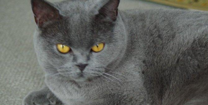 ブリーダーから保護施設へきた3本足の猫。家につく?人につく?