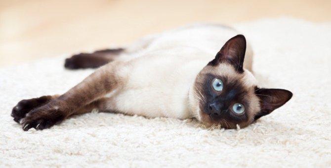 シャム猫の性格とは?特徴や飼う時の注意点まで