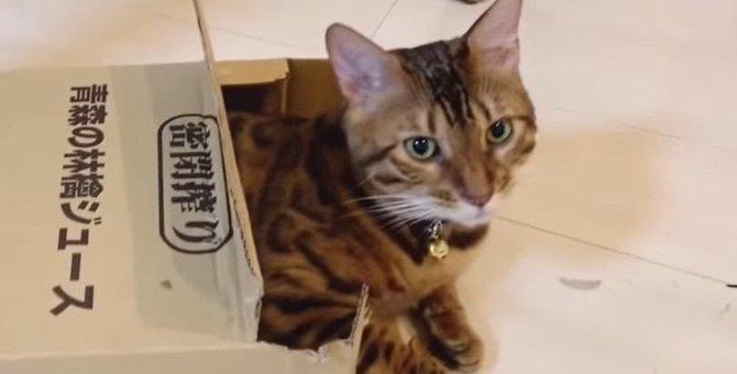 この箱で遊びたい!小さな箱に入るベンガル猫さん