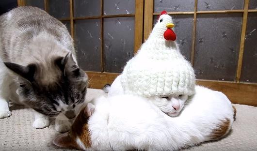 他の猫の体を枕にしてウトウトする猫ちゃんに鶏帽子がスッポリ!