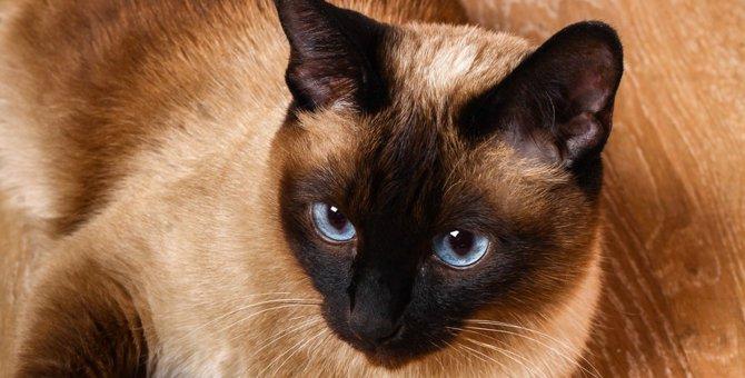 シャム猫の里親になる方法と気をつけるべき点